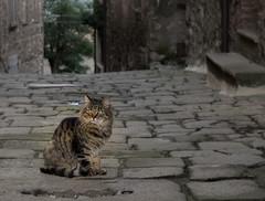 Gatto di Tatti (gianKE) Tags: cat nature green tatti maremma tuscany animal animals beautiful beauty italy pet gatto animali toscana
