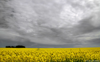Big skies and rapefield [Explore #49 ]