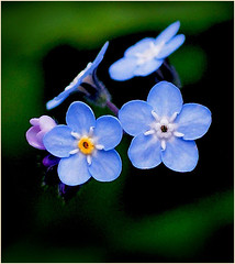 FORGET ME NOT ... (Aspenbreeze) Tags: flora flower wildflower forgetmenot forgetmenotflower blueflower tinyflower nature rural aspenbreeze moonandbackphotography bevzuerlein