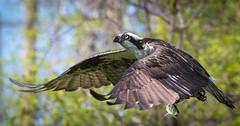 Osprey With Fish (Vic Zigmont) Tags: osprey raptor ospreywithfish birdinflight ospreyinflight