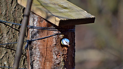 - Hi! This is my new home! :-) BirdLife in Finland. (L.Lahtinen (nature photography)) Tags: bird birdlife nestbox eurasianbluetit wildlife finland spring birdinnestbox nikond3200 nikkor55300mm nature suomi sinitiainen linnunpönttö luonto lintu kevät songbird laululintu larissadatsha fauna animal naturephotography nikkor europe