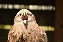White Tailed Fish Eagle (JerryGoulet) Tags: animals wildlife whitetailedfisheagle gauntletbirdsofpreyeagleandvulturepark eagles birds colours