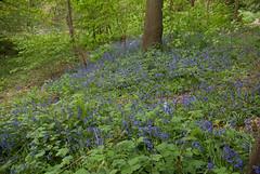 Bluebells (Colin Paterson) Tags: native english bluebells camphill nuneaton whittleford park spring flowers woodland warwickshire england britain uk haunchwood