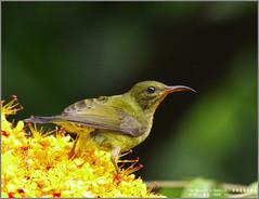 Van Hasselt's Sunbird (Female) (Luis Foo) Tags: van hasselts sunbird pentax k70 sigma 150500mm baihualing wildlife bird