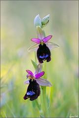 Ophrys bertolonii (Luciano Silei - sky7) Tags: ophrysbertolonii ophrys wildorchid orchid canon7d sigma150macro macro lucianosilei naturalmente diamondclassphotographer