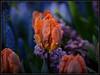 Underwater (Ernie Misner) Tags: f8andbeunderwater underwater tulip flower skagitvalleytulipfestival tulipfestival washington erniemisner nikond810 tamron90 macrolens closeup lightroom nik capturenx2 cnx2