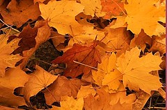 autumn (Shell Bell Pics) Tags: autumn seasons fall leaves nature photography