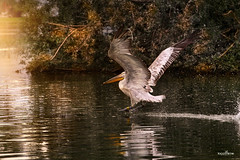 take off (dim.pagiantzas | photography) Tags: flying flight birds pelican nature natural landscape light sunset reflections textures colors colorfull plants water waterscape atmospheric lakes fog canon outdoor