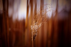 Seeds of love... (Maria Godfrida) Tags: nature flora seeds reed weed plants wind brown goldenlight light closeup outdoor outside tamron blur
