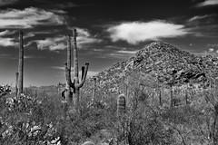 Blue Skies and Clouds to Complement a Desert Setting in Saguaro National Park (Black & White) (thor_mark ) Tags: nikond800e day3 saguaronationalpark saguaronationalparktucsonmountaindistrictwest lookingsw blackwhite silverefexpro2 desert desertlandscape sonorandesert desertplantlife outside nature saguaro cactus carnegieagigantea saguarocactus arborescenttreelikecactus cactusacrossdesertlandscape sunny blueskieswithskies landscape mountains mountainsindistance mountainsoffindistance capturenx2edited colorefexpro hikealongvalleyviewoverlooktrail hillpeak intermountainwest southwestbasinsandranges northsonorandesertranges westtucsonnogalesarea tucsonmountains engelmanspricklypearcactus opuntiaengelmannii project365 portfolio cactusflowers topofsaguarocactus arizona unitedstates