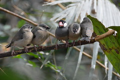 Java Finches (Lonchura oryzivora). (Seventh Heaven Photography) Tags: juvenile babies chicks java finch bird finches sparrow lonchuraoryzivora lonchura oryzivora indonesia nikond5200