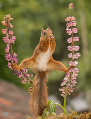 dont stretch it to far (Geert Weggen) Tags: mammal rodent squirrel nature animal red flower perennial closeup cute plant funny happy summer ground spring bright light branch seed tree yellow look lupine tender love yoga stretch spread exercise geert weggen hardeko sweden bispgården jämtland