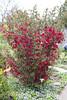 IMG_0347 (vargabandi) Tags: chaenomeles vargabandi garden red blossom