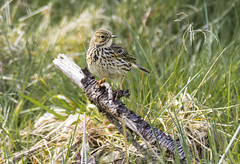 medow pipet (Yvonne Alderson) Tags: north yorkshire medow pipet moorland