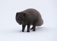 Arctic fox. (richard.mcmanus.) Tags: iceland westfjords hornstrandir naturereserve fox arcticfox arctic snow wildlife mcmanus