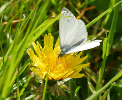 Green veined white butterfly (Matt C68) Tags: gloucester park basildon nature insect green veined white butterfly butter fly pieris napi dandelion weed grass