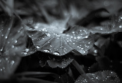 Raindrops and Bokeh (Explored) (Katrina Wright) Tags: dsc0640 leaves foliage petals dew rain raindrops droplets monochrome bw dof
