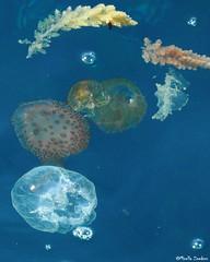 Jellyfish Mallorca (Geminiature Nature+Landscape Photography Mallorca) Tags: jellyfish medusas kwallen jellies pelagianoctiluca aureliaaurita oorkwal mauvestinger commonjellyfish moonjellyfish saucerjelly medusacomún medusasombrilla medusaluna parelkwal lichtendekwal acalefoluminiscente clavel