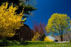 Spring colors (E. Aguedo) Tags: colors spring maple tree forsythias garden backyard new england sky blue warwick rhode island ngc