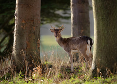 'Buck's Morning Trek' (Jonathan Casey) Tags: follow deer back stag young yearling holkham hall norfolk north d810 nikon 400mm f28 vr