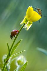 Duo (bonacherajf) Tags: macro corse corsica insecte coccinelle moustique