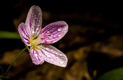 Spring Beauty . . . (Dr. Farnsworth) Tags: flower pink small dime springbeauty state park accident water droplets hoffmaster nortonshores mi spring may2015 nationalgeographic discoveryaward discovery fantasticnature