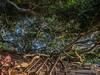 Moreton Bay Fig (Thunder1203) Tags: attraction moretonbayfig queensland trees wellingtonpoint landmark landscape plants australia au