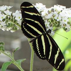 Zebra Longwing, Heliconius charithonia (woohit42) Tags: butterfly beautiful zebralongwingheliconiuscharithonia canon7d canonef100mmf28lmacroisusm naturalhistorymuseumoflosangelescounty canon bugs