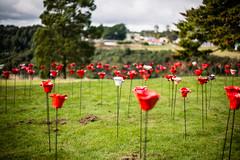 Waratah Anzac Poppies 2017 (paulledger81) Tags: poppies anzac tasmania waratah poppy remembrance