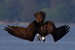 IMG_2817 Osprey diving (cmsheehyjr) Tags: cmsheehy colemansheehy nature wildlife bird hawk fishhawk osprey pandionhaliaetus rappahannockriver virginia raptor