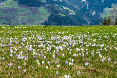 Krokusse (oonaolivia) Tags: krokus crocus walking hiking frühling spring wildflowers flowers blumen blumenwiese nature graubünden grisons switzerland schweiz landscape landschaft