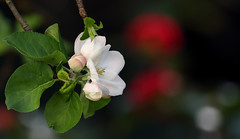 Visual Refinement (AnyMotion) Tags: apple apfel malus blossom blüte leaf blatt buds knospen camellia kamelie bokeh 2017 anymotion garden garten natur plants pflanzen tree baum floral flowers frankfurt spring frühling primavera printemps colours colors farben white weis pink rosa red rot 7d2 canoneos7dmarkii ngc npc