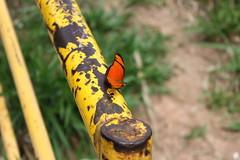Borboleta bairro São João JM - Wir Caetano - 26 04 2017 (3) (dabliê texto imagem - Comunicação Visual e Jorn) Tags: borboleta inseto amarelo escada ferrugem