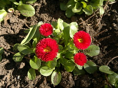 2017-03-28-7880 (vale 83) Tags: bellis nokia n8 friends macrodreams coloursplosion colourartaward beautifulexpression
