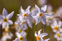 (Alin B.) Tags: alinbrotea nature spring april flower white scent fine narcise narcissus dafodils