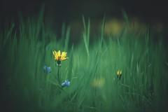 2:2 (christian mu) Tags: flowers bokeh christianmu sonya7ii nature botanicalgarden botanischergarten germany münster muenster spring batis sony zeiss batis8518 8518 85mm schlossgarten
