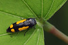 redbud borer (myriorama) Tags: redbudborer beetle polyphaga elateriformia buprestoidea buprestidae polycestinae ptosima ptosimagibbicollis metallicwoodboringbeetle
