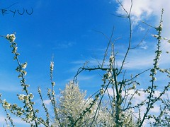 branches in bloom against blue sky \オ/ (Ola 竜) Tags: sakura cherryblossom whiteflowers white blossom bloomingtree bloom branches twigs floweringtrees bluesky whiteclouds floralcomposition nature skypoetry sunny