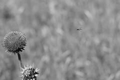 Cardo (con Ape in arrivo) (albert.o_bertoni) Tags: cardo ape api cardomariano imenotteri invertebrati piante artropodi categoria complesse erbacee genere insetti marca natura razza risma sorta specie stampo varietà