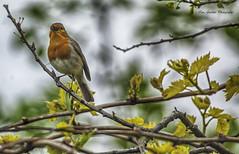 I Heard It Through The Grapevine (IAN GARDNER PHOTOGRAPHY) Tags: robin erithacusrubecula vinetree singing wildlife nature bird thrush hdr