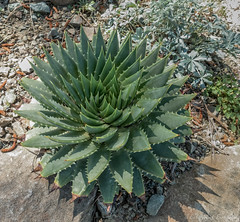Nature's Spirals (J_Richard_Link) Tags: plant theruthbancroftgarden succulent agave spirals