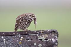 little owl with shrew breakfast (dale 1) Tags: little owl shrew breakfast