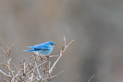 Mountain Bluebird (M) (Wildlife _and_ Nature Photography) Tags: 400mmf28gedvr mountainbluebird