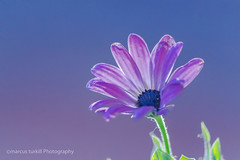 Mañana de Mayo. (marcus turkill) Tags: flowers flores nikon nikond3300 nature garden jardin macro macrofotografia macrophotography margarita daisy pink primavera spring rosa