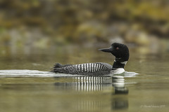 Pilgrimage to Tofino- Common Loon (Chantal Jacques Photography) Tags: pilgrimagetotofino commonloon wildandfree depthoffield bokeh