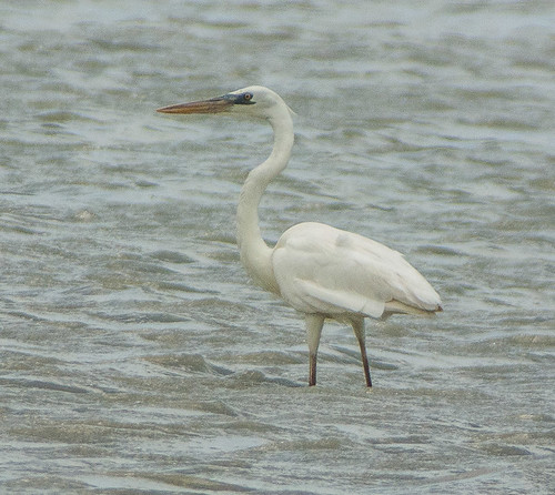 Great White Heron -1465