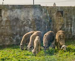 DSC_6271.jpg (susanm53@verizon.net) Tags: northafrica 2017 poppys sheep building casablanca morocco animal