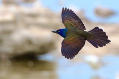 Irridescent (imageClear) Tags: irridescent blue grackle commongrackle beauty nature lovely aperture nikon d500 80400mm bif fly imageclear flickr photostream