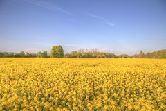 Yellow Delights (blavandmaster) Tags: canon christiankortum eos6d 24105 2017 perfect sky löhne 6d printemps nrw landscape colza colours harmonic beautiful incredible countryside sonnenuntergang ostwestfalen photomatix mighty handheld raps hdr strong badoeynhausen lente ciel eos paysage tyskland westfalen nuages rapeseed interesting processing frühling awesome light germany april allemagne landschaft kreisherford duitsland himmel avril deutschland clouds sunset lovely coucherdesoleil complete happy spring