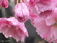 sweet blossoms (Sonja Parfitt) Tags: